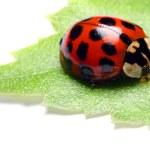 Red ladybug on green leaf — Stock Photo #33578021