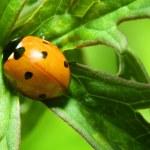 Orange ladybug — Stock Photo #33578033