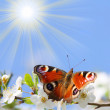 Peacock butterfly on wild cherry blossom against blue sky. — Stock Photo