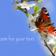 Peacock butterfly on wild cherry blossom against blue sky. — Stock Photo #33578089