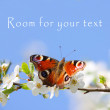 Peacock butterfly on wild cherry blossom against blue sky. — Stock Photo #33578103