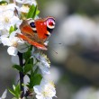 Peacock butterfly on wild cherry blossom against blue sky. — Stock Photo #33578121