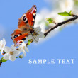Peacock butterfly on wild cherry blossom against blue sky. — Stock Photo #33578127
