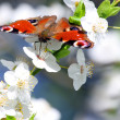 Peacock butterfly on wild cherry blossom against blue sky. — Stock Photo #33578151
