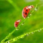 Ladybugs — Stock Photo