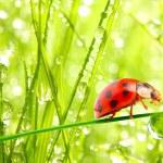 Red ladybug on  leaf — Stock Photo #33578255