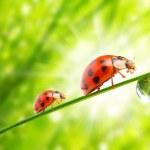 Ladybugs drinking fresh morning dew. — Stock Photo