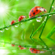 Three ladybugs running on grass bridge — Zdjęcie stockowe #33578355