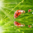 Three ladybugs running on grass bridge — Zdjęcie stockowe #33578407