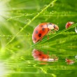 Three ladybugs running on grass bridge — Stockfoto #33578407