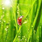 Ladybug drinking — Stock Photo