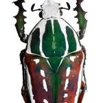 Постер, плакат: Goliath beetle