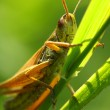 Green grasshopper — Stock Photo #33578803