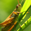 Stock Photo: Green grasshopper
