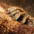 Dangerous tropical monster spider. Close up with shallow DOF. — Stock Photo