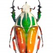 The Goliath beetle (Scarabaeidae) are among the largest insects on the earth. — Stock Photo