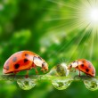 Ladybugs family on dewy grass. — Stok Fotoğraf #33579983