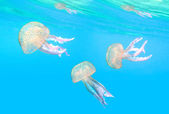 Dangerous jellyfish known as The Mauve Stinger — Stock Photo