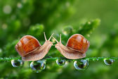 Love making snails couple on a dewy grass. — Stock Photo