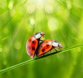 Love making ladybugs couple — Stock Photo