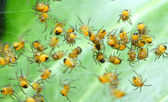 Rare photography. Nest of newborn Wasp Spiders (Argiope bruennichi) — Stock Photo