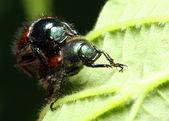 Anthonomus rubi - dangerous plant pest — Stock Photo