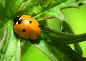 Orange ladybug — Stock Photo