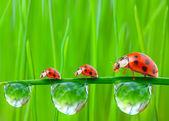 семья божьи коровки на росистой траве. — Стоковое фото