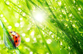 Ladybug drinking fresh morning dew. — Foto de Stock