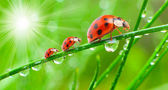 Ladybugs family on a dewy grass. — Stockfoto