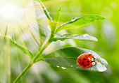 Ladybug drinking fresh morning dew — ストック写真