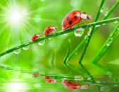 Three ladybugs running on a grass bridge — Stockfoto