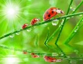 Three ladybugs running on a grass bridge — Zdjęcie stockowe