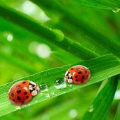 Ladybugs drinking fresh morning dew. — ストック写真