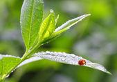 Ladybug drinking fresh morning dew — Zdjęcie stockowe