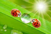 Ladybugs drinking fresh morning dew. — Stockfoto