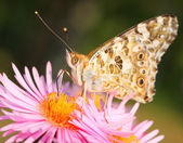 Beautiful european butterfly — Stock Photo
