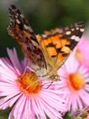 Red Admiral butterfly — Stock Photo