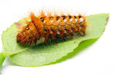 Bright orange spiky Caterpillar on leaf — Stock Photo