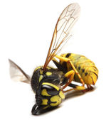 Dead Yellow Jacket Wasp — Stock Photo