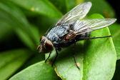 Sarcophaga carnaria fly — Stock Photo
