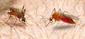 Anopheles komára — Stock fotografie