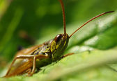 Green grasshopper — Stock Photo
