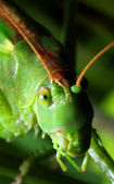Grön gräshoppa — Stockfoto