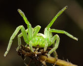 The green huntsman spider — Stock Photo