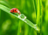 Ladybugs drinking fresh morning dew. — Foto de Stock