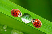 Ladybugs drinking fresh morning dew. — Stockfoto