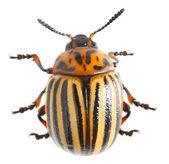 The Colorado potato beetle — Stock Photo