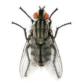 The House Fly — Stock Photo