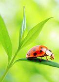 Ladybug drinking fresh morning dew. — Zdjęcie stockowe